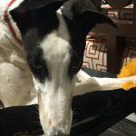 Rocky the rescue greyhound in Brisbane