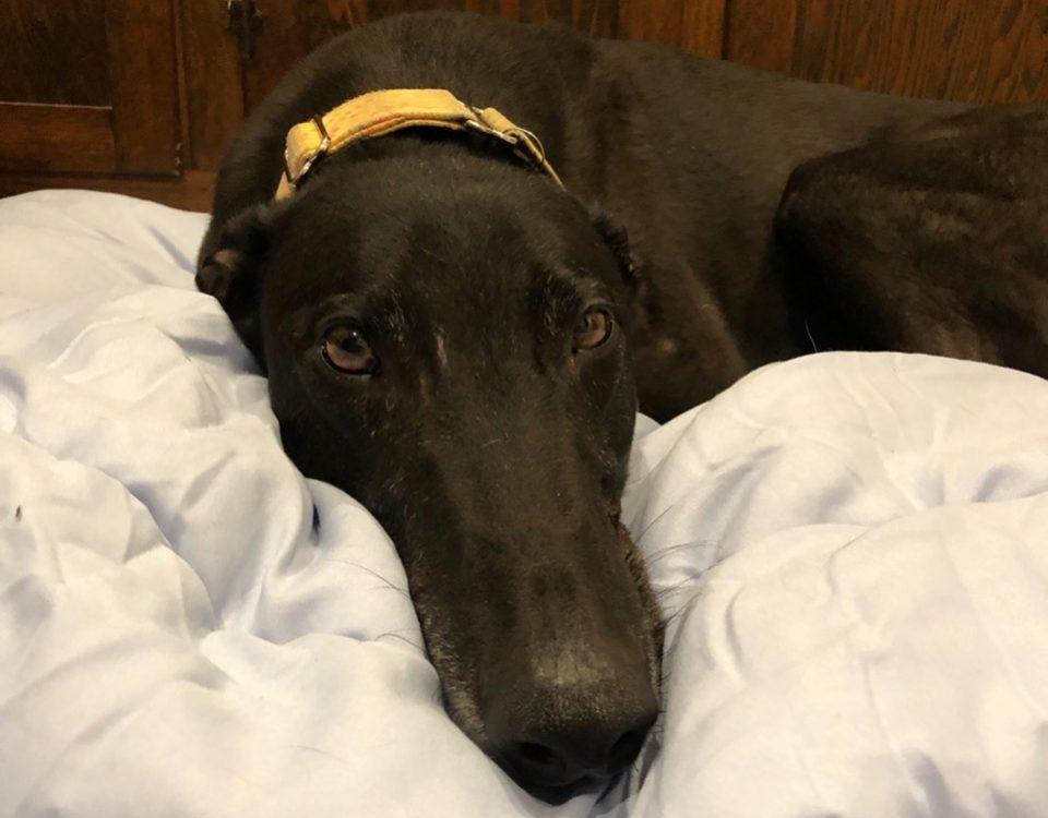 Stevo the rescue greyhound in Melbourne
